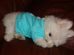Maltipom or Pomaneese. a dog i want: Flickr, Animals, Maltese Puppy, Maltipom, Puppys, Adorable, Baby, Dog, Pomaneese