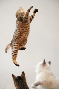 MAN, MIRANDA, LOOK AT JENNIFER JUMP.........DIDN'T THINK THE OLD GAL HAD IT IN HER!!.............ccp: Animals, Jumping Cats, Kitty Kitty, Feline, Flying Cat, Photo