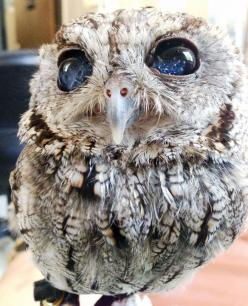 Meet Zeus, a blind Western Screech Owl with eyes that look like a celestial scene captured by the Hubble Space Telescope.: Animals, Zeus, Screech Owl, Stars, Starry Eye, Owls, Eyes