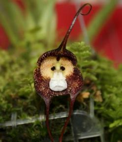 "Monkey Face Orchid...I'm in love, I think I need to pin this to my ""Wish List"" board as well!: Faces, Orchids, Dracula Monkey, Flowers, Garden, Animal"