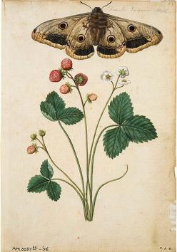 moths and flowers, JACQUES LE MOYNE, design squish blog.love the scientific drawing style for tats: Illustration, Strawberries, Jacques The, Flower