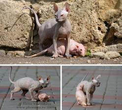 "Noone's allowed to say anything about my ""hairless"" cats anymore--look at the rat!!: Pets, Hairless Cats, Cat Hairless, Inspirational Animals, Animal Friends, Kitty, Hairless Animals, Hairless Rats"