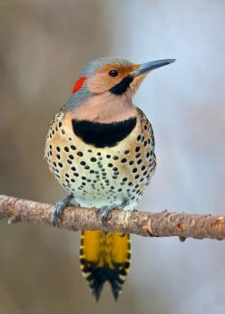 """Northern Flicker - """"Do they not see the birds, constrained in the middle of the sky? None withholds them but Allah; most surely there are signs in this for people who believe."""" Surah Nahl, 79: Animals, Northern Flicker, Birdie, Beautiful Birds, Fl"""