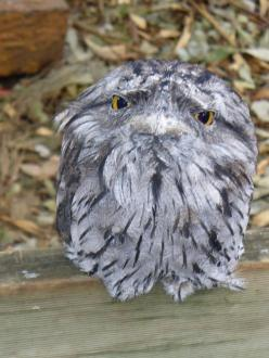 Not to be confused with owls, the frogmouth is a nocturnal bird native to Southeast Asia and Australia.: Nocturnal Bird, Australia Animals, Isnt, Owl, Southeast Asia, Beautiful Birds