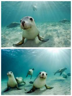OMG ..... how cute is this??: Australian Sea, Sea Lions, Curious Seals, Character Seal, Sea Animals, Baby Seals