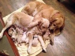 omg, this makes me want to cry: Animals, Sweet, Dogs, Golden Retrievers, Family, Pet, Puppy, Families, Golden Retriever