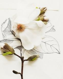 Original Signed and stamped Fine Art Photograph    Size: 8 x 10 inches    Magnolia Bug No. 6688: Magnolias, Idea, Inspiration, Art, Flower Illustrations, Flowers, Drawing, Floral, Could World