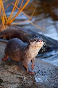 OTTER: Any of various aquatic, carnivorous mammals of the genus Lutra and allied genera, related to the minks and weasels and having webbed feet and dense, dark brown fur.: Photos, Animals Otter, Baby Otters, Photo Sharing, Adorable, Awwwtter