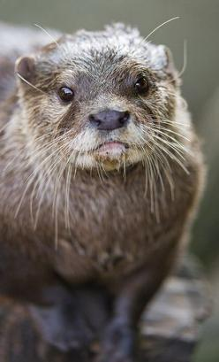Otter - Who can resist that face? So cute!: Smiling Otter, Photos, Animals Otter, Beautiful Otters, Dis Otterly, Rascal S Otters, Otters 3, Hedgehogs Otters, Unhappy Otters
