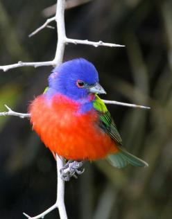 Painted Bunting: Animals, Poultry, Birdie, Buntings, Beautiful Birds, Photo