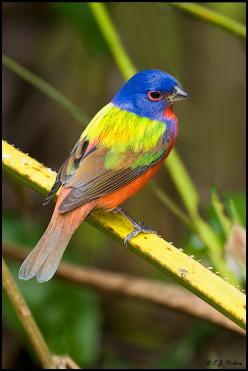 Painted Bunting by E.J. Peiker: Colorful Birds, Buntings, Backyard Birds, Painted Birds, Beautiful Birds, Animals Birds Insects Fish