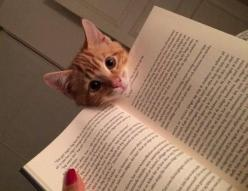 Pay attention to me!! Cat memes - kitty cat humor funny joke gato chat captions feline laugh photo: Cats, Books, Reading, Animals, Kitten, Pets, Funny, Crazy Cat, Kitty