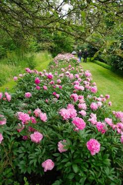 Peony border. Pfingstrosen. Just a picture. This would be heaven on our little prairie farm!: Rose, Garden Peonie, Peony Border, Peony Hedge, Beautiful Gardens, Garden, Peonies, Favorite Flower