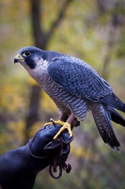 Peregrine Falcon, known as the fastest bird, attaining up to 200 mph in a stoop or dive...Photography by Vidular: Birds Of Prey, Falcons, Beautiful Birds, Favorite Bird, Peregrine Falcon, Animal