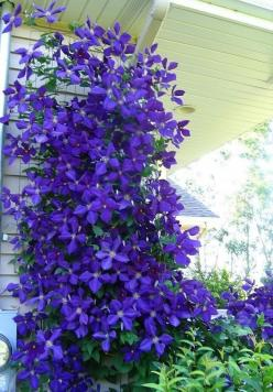 Perennial Flowers That Bloom All Summer | 1000x1000.jpg: Jackmanii Clematis, Flowering Vines, Favorite Flowering, Outdoor, Gardening, Flowers