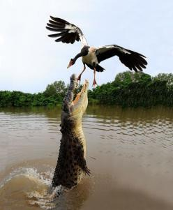Perfect shot! I have actually seen this happen while canoeing in the everglades! Scary as hell!: Photos, Amazing, Wild, Animals, Nature, Crocodile, Alligator, Birds, Photography