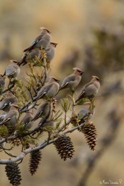 "phototoartguy:    Waxwings & Cones posted by permission of Mario Davalos.  From Mario "" Taken in Montana, USA.""  More information about Mario:  mariodavalos.org  blog-mariodavalos: Animals, Nature, Wax Wing, Waxwings Cones, Mario Davalos, Beautiful Bi"