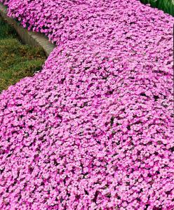 pink arabis (rockcress), makes a good perennial groundcover: Garden Groundcover, Garden Rockery, Rock Gardens, Bed, Groundcovers, Perennial Groundcover, Arabis Rockcress