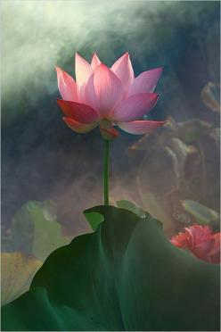 ✿ Pink flower Lotus ✿ Green leave Lotus Flower by Bahman Farzad #flowers #Lotus #pink: Pink Flower, Waterlily, Lotus Flowers, Waterlilies, Flower Img 5016 1 1000, Art, Water Lily, Flower