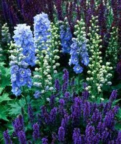 Plant a Garden by Color|A simple way to choose plants (issues of sun and soil aside) is by color. Even the most basic approach yields gorgeous results, as seen here.: Garden Ideas, Blue Garden, Colors, Purple Flowers, Outdoor, Blue Delphinium, Gardens, Ga