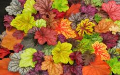 Plant to replace hostas - Heucheras: Heuchera Plant, Ideas, Shade Plant, Fall Leaves, Fall Colors, Beautiful Colors, Coral Bells, Garden, Flower