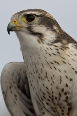 PRAIRIE FALCON -- image by Florence McGinn, taken in Arizona – Love to watch and learn about birds of prey?  Then, head to Free Flight at the Arizona-Sonora Desert Museum.  Fantastic photo opportunities, too!  Learn more at http://www.examiner.com/article