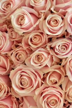 Pretty Sweet Avalanche roses. #roses #flowers: Rose Flowers, Pink Roses, Pretty Avalanche, Avalanche Roses, Pretty Sweet, Flower Power, Bloom, Sweet Avalanche Rose