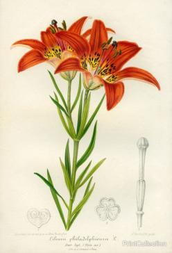 PrintCollection - Western Red Lily: Westerns, Lily Print, Botanical Prints, Lilies, Products
