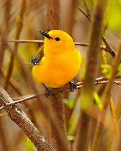 Prothonotary Warblers breed in hardwood swamps in extreme southeastern Ontario and eastern US. It's the only eastern warbler that nests in natural or artificial cavities, sometimes using old Downy Woodpecker holes.: Colorful Birds, Animals, Prothonota