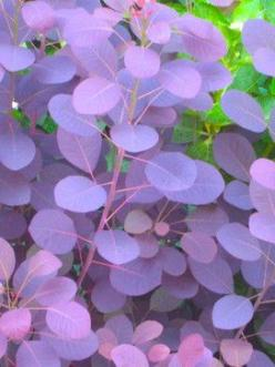 Purple smoke bush is often used as a garden specimen due to the purple-pink plumes and the purple leaves on some cultivars. It is highly drought tolerant. Common Names: Purple smoke bush, smokebush, smoketree, purple smoke tree. Zones 4-9. Size & Shap