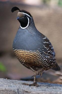 Quail are one of my favorite bird. Too bad they don't live on the West Coast :-( California Quail, a real Lady: Animals, Front Yard, Autumn Blues, Beautiful Birds, Favorite Bird, Quails, B Quail Blackbird