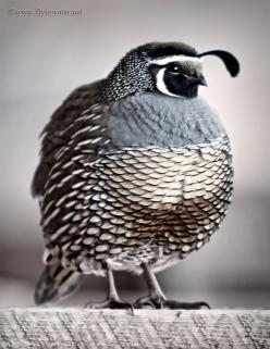 Quail - we have a whole quail family that lives right by us - the mama & papa bird always train their fledglings to fly off our back hedge every year :): Animals, Color, Birdie, Beautiful Birds, Quails