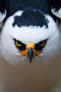 Raptor's stare: Animals, Black And White, Beautiful Birds, Angry Birds