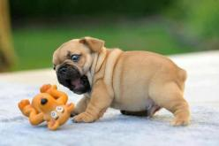 Rawrrr: Animals, Puppies, Dogs, Toy, So Cute, Pet, Funny, Puppys, Pugs