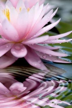 Re-pinned by http://Reiki-Master-Training.com: Waterlily, Lotus Flowers, Waterlilies, Art, Beautiful, Pink Lotus, Water Lily, Garden, Water Lilies
