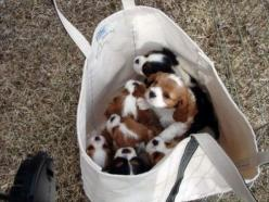 REALLY? haha @Julie Saraceno we shoulda put em in a bag! lol: King Charles, Animals, Puppies, Dogs, Puppys, Cavalier King, Bags