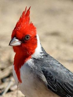 Red Crested Cardinal - These birds are native to South America, but are a favorite introduced bird in Hawaii.: Crested Cardinal, Birds Birds, Cardinal Birds, Animals Birds Etc, Cardinals The Bird, Beautiful Birds, Animal Birds Cardinal, Cardinals Bird, Ph