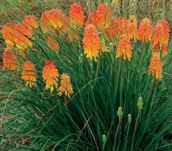 Red-Hot-Poker plant. Drought resistant(good thing!!!) and attracts hummingbirds. We put these up by our front door:) LOVE them!!: Kniphofia Ember, Ember Glow, Fall Perennial, Attracts Hummingbird, Landscape, Garden