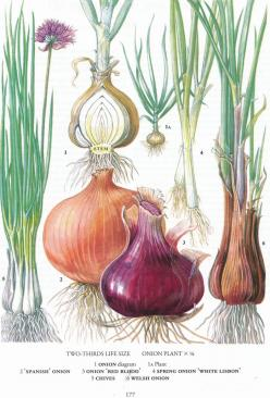 #retroscan onion garlic botanical print vintage: Botanical Illustration, Botanical Prints, Food Botanical, Onion Chart, Chart Vegetable, Vintage Kitchen