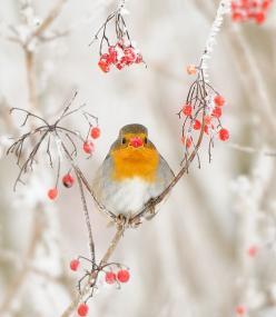 Robin in winter...the National Bird of England and also the herald of Christmas too by m. geven: Animals, Winter Wonderland, Birdie, Robins, Beautiful Birds