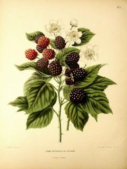 Rosaceae - Rubus fruticosus   Lithograpy in Belgium by G. Severyns. Publication started in 1875 on the initiative of the Pomological Society at Boskoop. (via Rosaceae - Rubus fruticosus Kittaninny.): Botanical Illustration Tattoo, Blackberry Illustration,