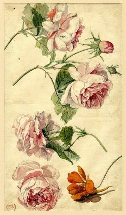 Roses and a nasturtium, old illustration, flower, floral, flowers, picture, old, poster, illustration, vintage: Botanical Prints, Botanical Drawings, Botanical Illustrations, Roses, Vintage Rose, Tattoo, Botanical Art, Flower