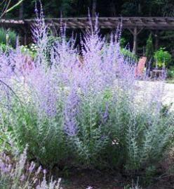 Russian Sage We can't help but love Russian sage. One of the toughest plants, it offers fragrant silvery foliage and plumes of violet-purple blooms. Taller varieties are great for the back of the border. Not only is it heat and drought resistant, but