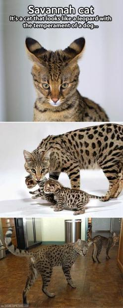 Savannah cat As you can see, these cats are very large. It must take a lot to fill their tummies, and we won't even mention what comes out of the back end.  Anyone who wants to buy an exotic breed should look up their information regarding health, how