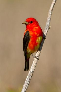 Scarlet Tanager, Piranga olivacea | Neotropical Bird Sanctuary, Quintana,: Birds Tanagers, Beautiful Birds, Bird Tanagers, Neotropical Bird, Birds 4, Birds Amazing, Animal