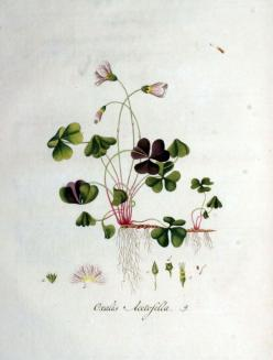 Several stunning botanical clover images (at bottom of page).: Tattoo Ideas, Botanical Illustration Tattoo, Vintage Flower Tattoo, Botanical Oxalis, Botanical Prints, Art Botanical, Botane Ideas, Botanical Art