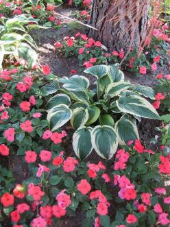 Shade gardening: impatiens and hostas: Front Yard, Photo Sharing, Gardening Hosta, Variegated Hosta, Shade Gardening Love, Colorful Impatiens