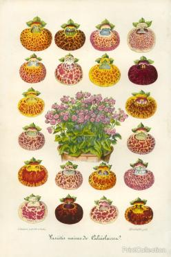 slipper flower varieties: Slippers, Biodiversity Heritage, Heritage Library, Botanical Prints, Flower Varieties