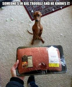 Small dog with big problems…: Funny Animals, Dogs, Dachshund, Big Trouble, Pet, Doxie, Funnies