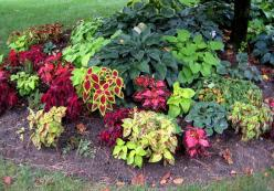 Small Flower Bed Ideas | Here is a closer look at the coleus and hosta planted under the tree ...: Shades, Garden Ideas, Garden Design, Shadegarden, Front Yard, Flower Beds, Hosta Planted, Shade Plants